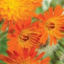 Orange Hawkweed flower