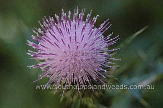 Californian Thistle flower