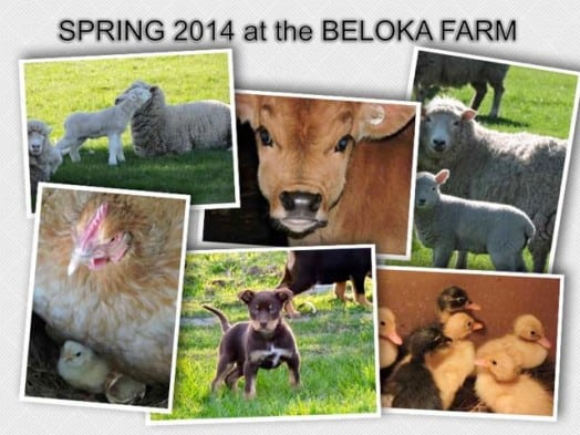 Spring 2014 at Beloka farm